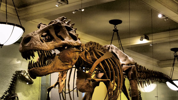 The T-Rex at the Natural History Museum